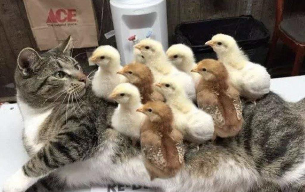 цыплятка