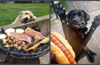Собаки выпрашивают еду